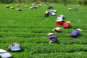 little-known-facts-about-tea